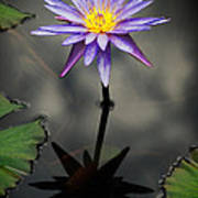 Purple Lotus Poster