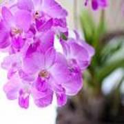 Purple Mini Orchids Poster