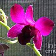 Purple Orchid Aglow Poster
