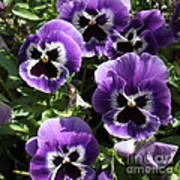 Purple Pansies Square Poster
