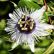 Purple Passionflower Poster by April Wietrecki Green