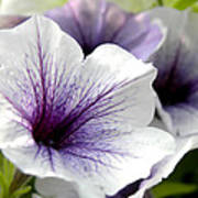 Purple Petunias Poster