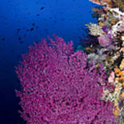 Purple Sea Fan In Raja Ampat, Indonesia Poster