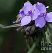 Purple Spiderwort Flowers Poster