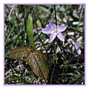 Purple Spring Trail Flower Poster