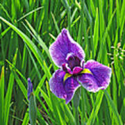 Purple Water Iris Poster