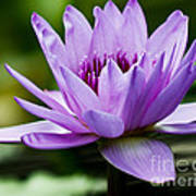 Purple Petals Water Lily Poster