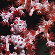 Pygmy Seahorse, Indonesia Poster