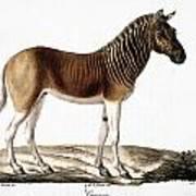 Quagga (equus Quagga) Poster
