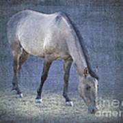 Quarter Horse In Blue Poster by Betty LaRue