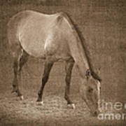 Quarter Horse In Sepia Poster by Betty LaRue