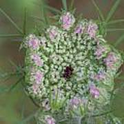 Queen Anne's Lace Flower Partly Open With Dew Poster