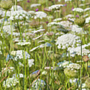 Queen Anne's Lace In All Its Glory Poster