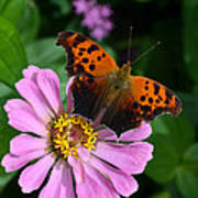 Question Mark Butterfly And Zinnia Flower Poster
