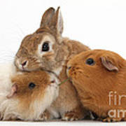 Rabbit And Guinea Pigs Poster