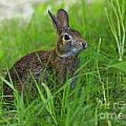 Rabbit Eating Grass In The Forest Poster