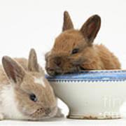 Rabbits And China Bowl Poster