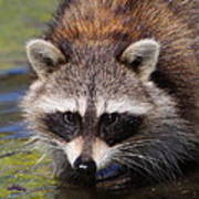 Raccoon Portrait Poster