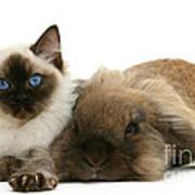 Ragdoll Kitten And Lionhead Rabbit Poster