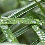 Rain Drops On Grasses Poster