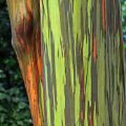 Rainbow Gum Tree Hawaii Poster
