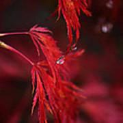 Raindrop On Japanese Maple Poster