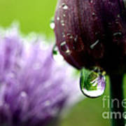 Raindrops On Chives In Bloom Poster