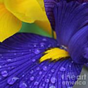 Raindrops Purple Dutch Iris Flower Poster
