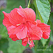 Rainy Day Hibiscus Poster