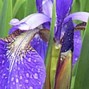 Rainy Day Iris  Poster