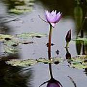 Rainy Day Lotus Flower Reflections V Poster
