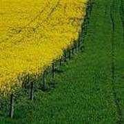 Rapeseed Growing In A Field, Ireland Poster