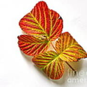 Raspberry Leaves In Autumn Poster