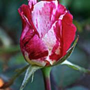 Raspberry Swirl Rose Poster