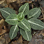 Rattlesnake Plantain A Study In Leaves Poster