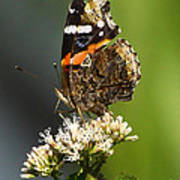 Red Admiral Butterfly Poster