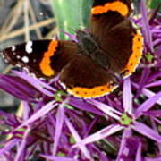 Red Admiral Butterfly Poster by Maria Scarfone