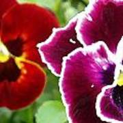 Red And Magenta Pansies Poster