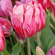 Red And Pink Tulips Poster