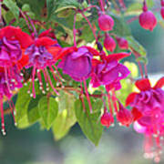 Red And Purple Fuchsias Poster