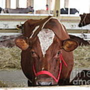 Red And White Cow In A Stable Close Up Poster