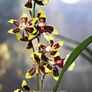 Red And White Orchid  Poster