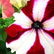 Red And White Petunia Poster