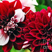 Red And White Variegated Dahlia Poster