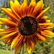 Red And Yellow Sunflower Poster