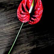 Red Anthrium Poster