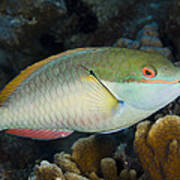 Red-banded Parrotfish Bonaire Poster