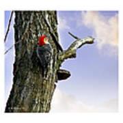 Red-bellied Woodpecker - Male Poster