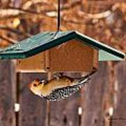 Red-bellied Woodpecker At Lunch Poster