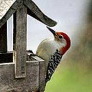 Red Bellied Woodpecker Poster by L Granville Laird